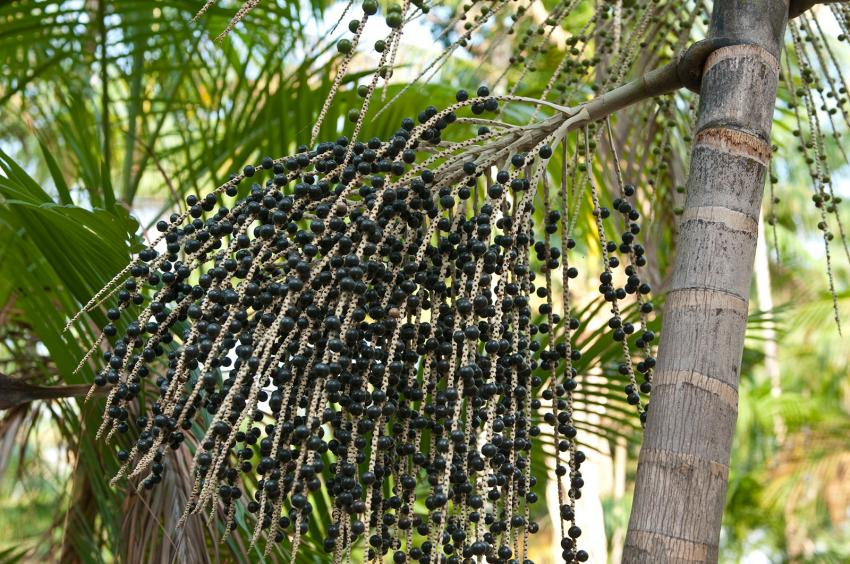 acai berries on branch