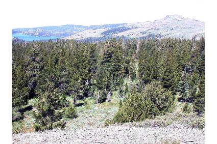 Pinus albicaulis Engelm. - whitebark pine