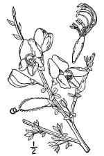 Cytisus scoparius (L.) Link - scotsbroom