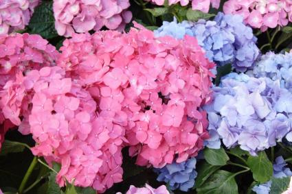 hydrangea types and related flowers, Beautiful flower