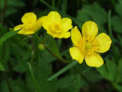 yellow potentilla