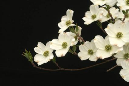 how to grow a dogwood tree from a branch
