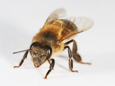Italian Honey Bee Facts About Honey Bees