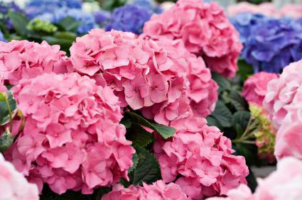 Hydrangea plant care - Caring hydrangea garden ...