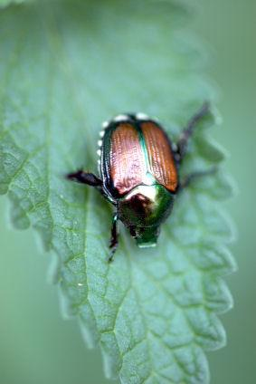 The Japanese beetle.