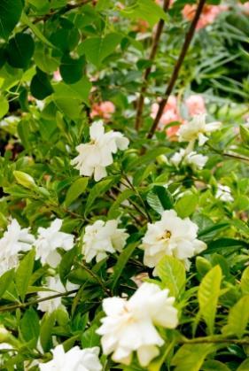outdoor gardenia