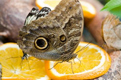 butterfly eating orange