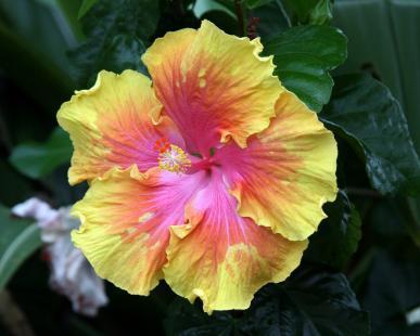 Yellow hibiscus bloom