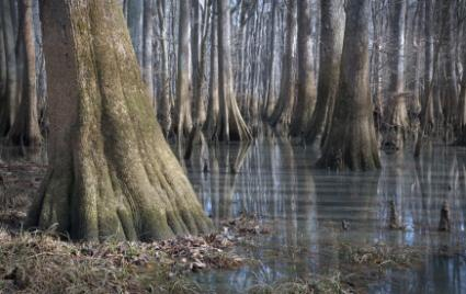 Bald Cypress in a swamp