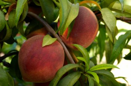Peach trees from seed