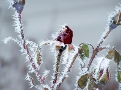 Frost on a Rose