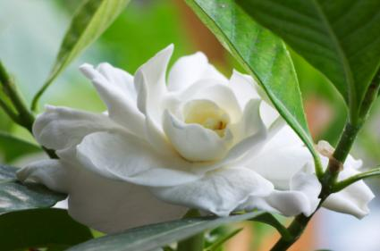 close up of gardenia flower