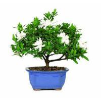 Brussels Bonsai Gardenia