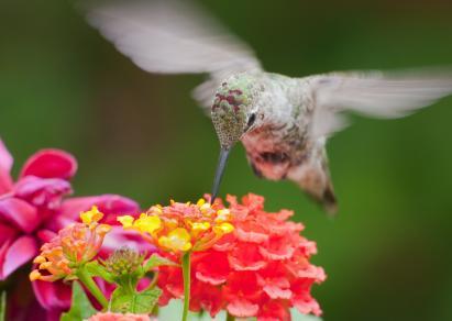 Hummingbird on lantana flowers