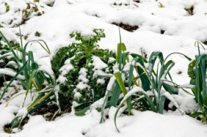Cold hearty vegetables can be grown in some winter locations