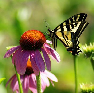 Echinacea and Butterfly