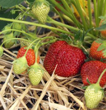 strawberry plants in mulch