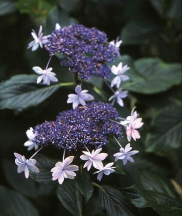 Pictures of Hydrangea Varieties
