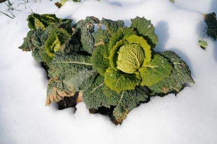 Growing an Edible Winter Garden
