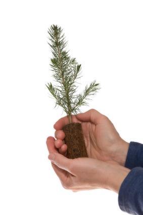 conifer seedling