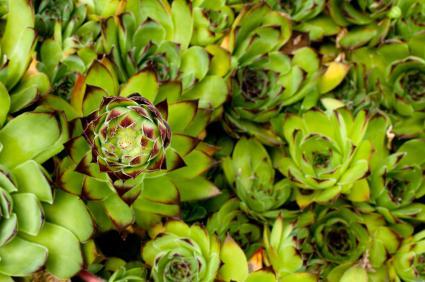 sedums are succulent plants