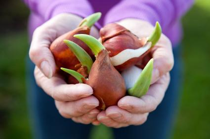 large, sprouting tulip bulbs