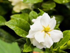 Gardenia blossom; Copyright Olga Batyrova at Dreamstime.com