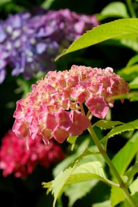 Beautiful hydrangea blossoms; Copyright Pippawest at Dreamstime.com