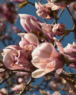 Magnolia tree; Copyright Debra Millet at Dreamstime.com
