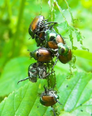 Cluster of Japanese beetles; Copyright Jeff Johnson at Dreamstime.com