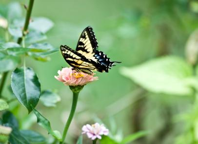 Swallowtail pastel butterfly on a zinnia