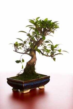 additional ficus care advice - Ficus Trees
