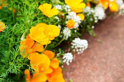 Garden border with California poppies
