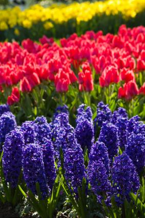Hyacinths and tulips; Copyright Colette6 at Dreamstime.com