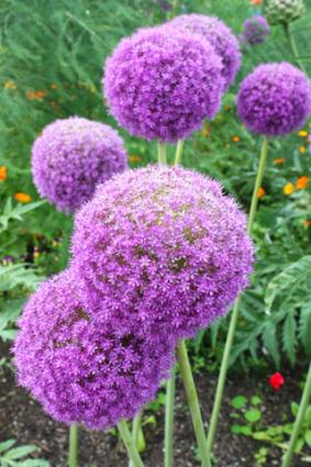Allium blooms; Copyright Jyothi at Dreamstime.com