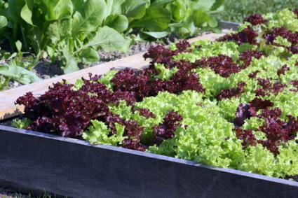 Raised bed of lettuce