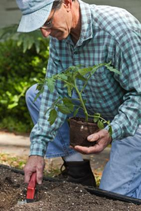 Planting tomatoes in a raised bed; Copyright Barbara Reddoch at Dreamstime.com