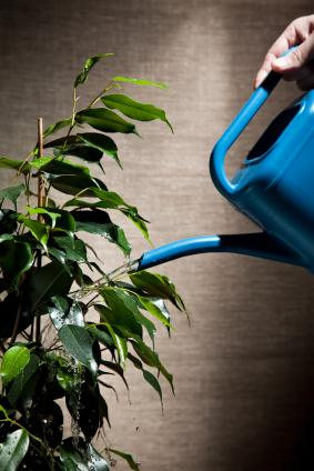 Proper watering is essential for houseplant health.