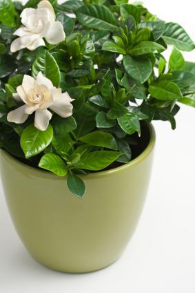 indoor gardenia