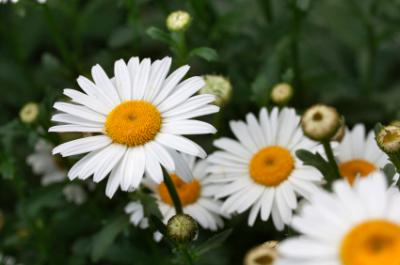 Shasta daisy
