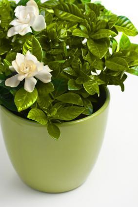 Gardenias in a vase