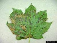 Anthracnose Photo by Paul Bachi, University of Kentucky Research and Education Center, Bugwood.org http://www.forestryimages.org/browse/detail.cfm?imgnum=5405253