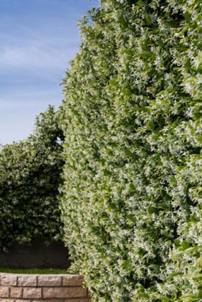 wall of jasmine