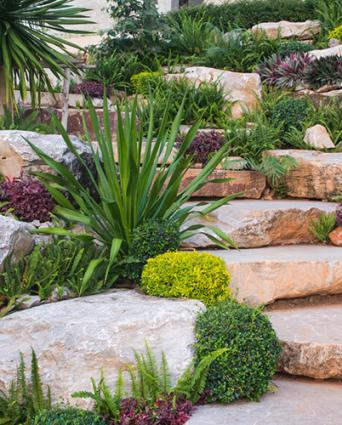 Large yucca in a rock garden