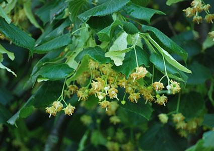best backyard shade trees, Natural flower