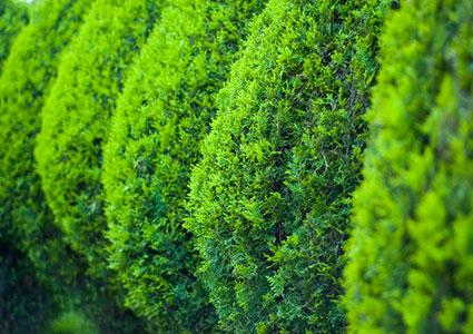 conical hedge