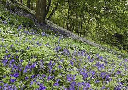 hillside covered in blubell flowers