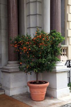 edible potted citrus