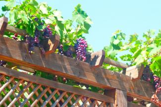 wood pergola with grapes