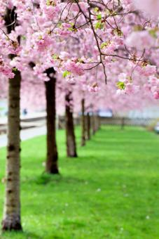 flowering cherry trees with pink blossoms